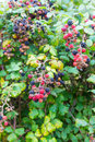 Wild blackberries in the hedgerow and flowers a natural with prickly stems and beautiful ripe fruits ready for eating Stock Photo