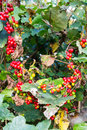 Wild blackberries in the hedgerow and flowers a natural with prickly stems and beautiful ripe fruits ready for eating Royalty Free Stock Photo