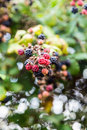 Wild blackberries in the hedgerow and flowers a natural with prickly stems and beautiful ripe fruits ready for eating Stock Images