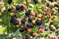 Wild blackberries in the pacific northwest himalayan Stock Photos