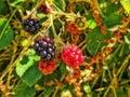 Wild Blackberries In Stages Of...