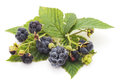 Wild blackberries. Royalty Free Stock Photo