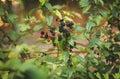 Wild blackberry bush Royalty Free Stock Photo