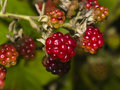 Wild blackberry riping on bush macro, selective focus, shallow DOF Royalty Free Stock Photo