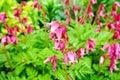 Wild bleeding-heart flower (Dicentra eximia) Royalty Free Stock Photo