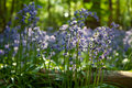 Wild Blubells flowers in woodland in Kent, England Royalty Free Stock Photo