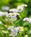 Wild blue asters Royalty Free Stock Images