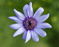 Wild blue flower flowers growing at caledon s botanical garden western cape south africa Stock Photography