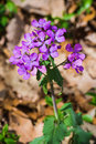 Wild blue phlox – phlox divaricate also called sweet william grows in rich woods and fields Royalty Free Stock Photos