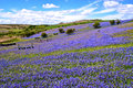 Wild bluebells on dartmoor growing in the national park england Royalty Free Stock Photos