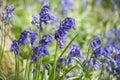 Wild bluebells Royalty Free Stock Photo