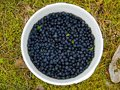 Wild blueberries bucket Royalty Free Stock Photo