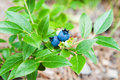 Wild blueberries Royalty Free Stock Photo