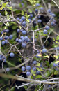 Wild blueberries ripening Stock Photography