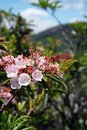 Wild Blueberry Blossoms Royalty Free Stock Photo