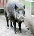 Wild boar 1 Stock Photography