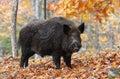 Wild-boar Imagem de Stock