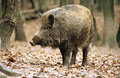 Wild-boar Royalty Free Stock Photo