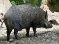 Wild boar 6 Stock Photo