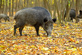 Wild boar in the autumn forest Royalty Free Stock Image