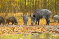 Wild boar in the autumn forest Royalty Free Stock Photography