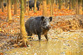 Wild boar in the autumn forest Royalty Free Stock Images