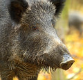 Wild boar in the autumn forest Stock Image