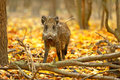 Wild boar in the autumn forest Stock Images