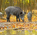 Wild boar in the autumn forest Royalty Free Stock Photos