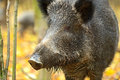 Wild boar in the autumn forest Stock Photography
