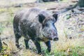 Wild boar on background of green grass is looking at camera Stock Photography