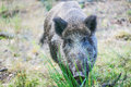 Wild boar on background of green grass is looking at camera Royalty Free Stock Images