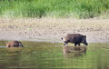 Wild boar bathing and piglet walking in shallow water Royalty Free Stock Photos