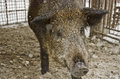 Wild boar in a cage close up of Stock Images