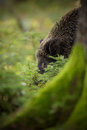 Wild boar curious approach curiously approaching in a pine forest Royalty Free Stock Photos