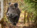 Wild boar, curiously watching Stock Photography
