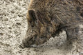 Wild boar detail Royalty Free Stock Photography