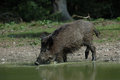 Wild boar is drinking Stock Photo