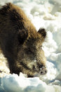 Wild boar an european on the snow Stock Images