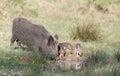 Wild boar family Royalty Free Stock Photo