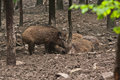 Wild boar family in their natural environment Royalty Free Stock Photos