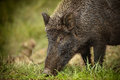 Wild boar foraging for acorns along a forest path Stock Image