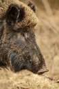 Wild boar foraging in bavarian woodland close up of wild free roaming animal Royalty Free Stock Photos