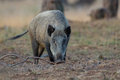 Wild boar in a forest in holland Royalty Free Stock Photos