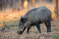 Wild boar a forest in holland the evening light Stock Images