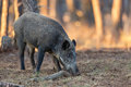 Wild boar a forest in holland the evening light Stock Photo