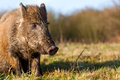 Wild boar in the forest there lives Royalty Free Stock Photos