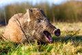 Wild boar in the forest there lives Royalty Free Stock Photo