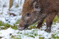 Wild boar in the forest there lives Stock Photos