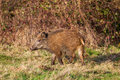 Wild boar in the forest there lives Royalty Free Stock Photography